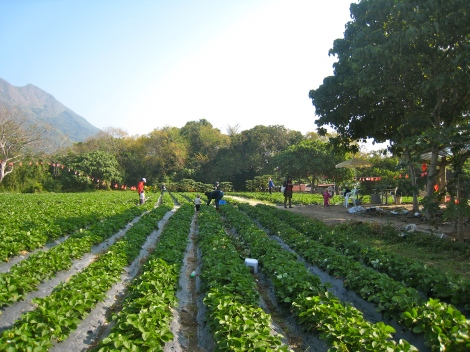 Strawberry field in Tai Po