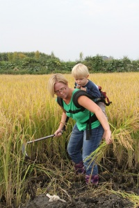 Red Banner Sister and unidentified child assist in Yunnan rice harvest.
