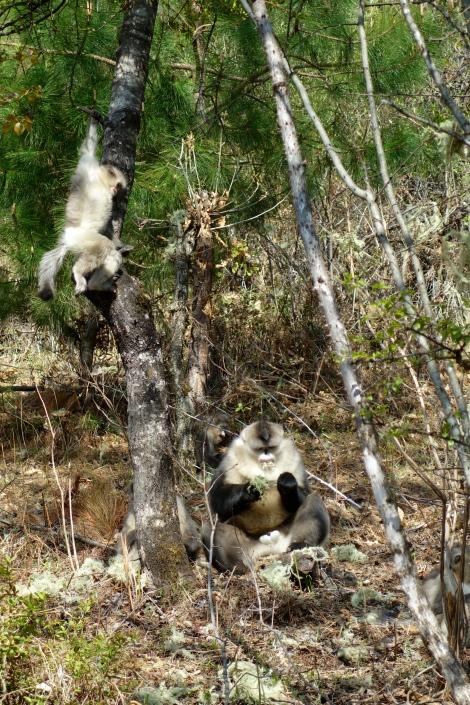 Yunnan Snub-Nosed Monkeys _ expatlingo.com
