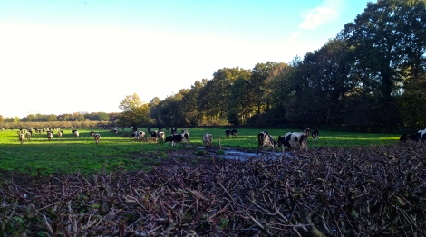 Cows have safely crossed into the muck and green grass.