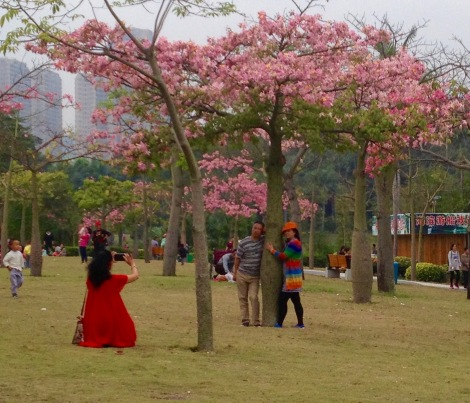 Photos with tree blooms in Zhuhai _ expatlingo.com